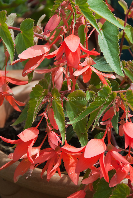 Salmon flowers of annual plant Begonia Million Kisses Romance