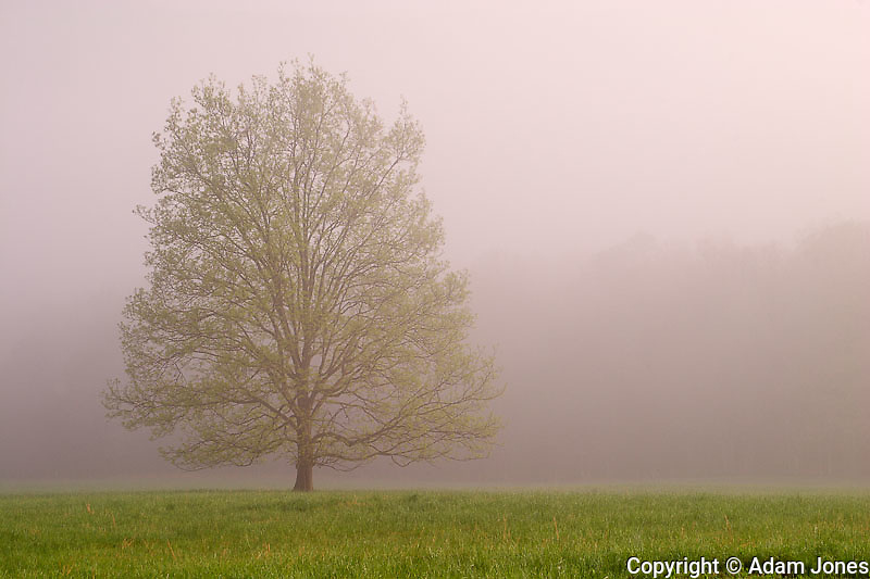 Tree in foggy meadow.Cades Cove.Great Smoky Mountains N.P. TN.Tree in foggy meadow.Cades Cove.Great Smoky Mountains N.P. TN