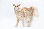 Oriental Longhair Cat - Male 9 years Old, Apricot colour