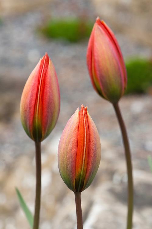 Tulipa whittallii, early April. A tetraploid form of Tulipa orphanidea, first found near Izmir on the western coast of Turkey. Named after Edward Whittall. www.edwardwhittallgarden.com