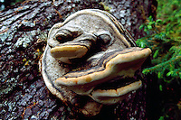 Shelf Fungus growing on a Fallen Tree Trunk Log in a West Coast Forest - Face in Fungus