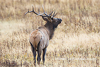 01980-03008 Elk (Cervus elaphaus) bull male, Yellowstone National Park, WY