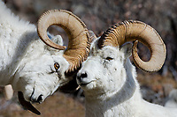 Dall sheep or Thinhorn sheep rams (Ovis dalli) dominance display, Kluane National Park and Reserve, Yukon Territory. Sept.