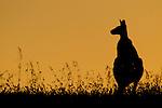Eastern Grey Kangaroo (Macropus giganteus) female in grassland at sunset, Mount Taylor Nature Reserve, Canberra, Australian Capital Territory, Australia