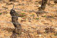 pinot noir guyot simple training old vine sandy soil clos st louis fixin cote de nuits burgundy france
