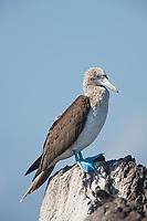 Blue-footed booby, Punto Suarez, Espanola Island, Galapagos Islands, Ecuador.