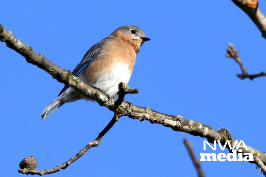 Courtesy photo/PHYLLIS KANE<br />SHORELINE BLUEBIRD<br />A bluebird rests Wednesday along the shore of Lake Fayetteville.