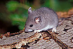 Deer Mouse, Peromyscus maniculatus, on tree trunk