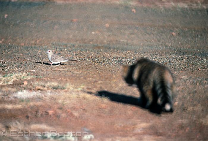 Domestic cat stalking native Diamond Dove (Geopella cuneata) central Queensland