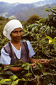 Chirinos, Peru. Fair trade partner coffee growers, co-operative supplier of Cafe Direct, picking coffee.
