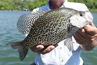 NWA Democrat-Gazette/FLIP PUTTHOFF <br /> Glenn snatched this crappie from Beaver Lake May 16 2019 with a jig. Trolling crank baits is another effectivce way to catch crappie in late spring and long into summer.