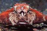 Shortnose Batfish Displaying, Ogcocephalus nasutus