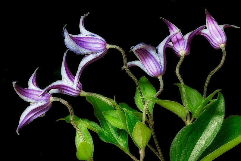 Close up of Clematis Rooguchi flowers. Oregon