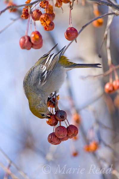 Pine Grosbeak (Pinicola enucleator), female feeding on crabapple fruits in winter, Baldwinsville, New York, USA