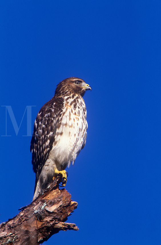 Juvenile Coopers Hawk on branch with blue sky, Venice Rookery, Venice, Florida