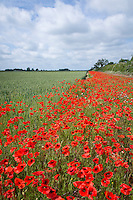 Field margin with bloom of poppies in June