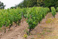Vineyard. Savennieres, Anjou, Loire, France