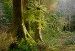 Oregon, Northwest, Soft light illuminates the moss covered evergreen trees of the coastal range.