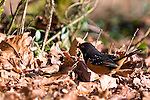 Spotted towhee, coast mountain range, Oregon