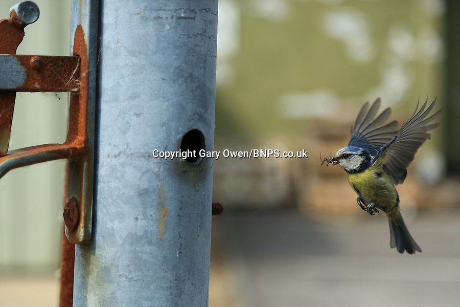 BNPS.co.uk (01202) 558833<br /> Picture: Gary Owen<br /> <br /> **pleae use byline**<br /> <br /> It's not the quietest place to raise a family but this blue tit mum has managed to build a nest for her young inside a gate post at Bournemouth Airport in Dorset. The small bird was spotted by airport worker Gary Owen flying into the small hole barely big enough to squeeze through. Gary quietly walked up to the gate and realised there were several chicks inside the hollow pole, so the amateur wildlife photographer returned the next day with his camera and grabbed a series of shots showing the mother bird going back and forth from the nest.