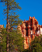 ponderosa pine, Pinus ponderosa, and hoodoos, Navajo Trail, Bryce Canyon National Park, Utah, USA