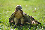 Old Westbury, New York, U.S. - August 23, 2014 - A red-tailed hawk (Buteo jamaicensis) standing in the grass is from non-profit WINORR, Wildlife in Need of Rescue and Rehabilitation, at the 54th Annual Long Island Scottish Festival and Highland Games, co-hosted by L. I. Scottish Clan MacDuff, at Old Westbury Gardens. WINORR is run by the Horvaths, licensed animal rehabilitators in North Massapequa.