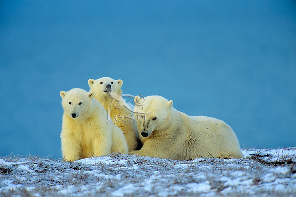 Polar Bear mother and cubs (Ursus Maritimus), Arctic National Wildlife Refuge, Alaska.