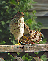 Immature Cooper's hawk stretching out