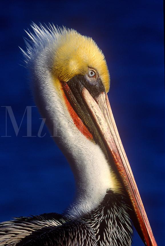 Endangered California Brown Pelican, breeding colors, head shot, portrait, La Jolla Cove, La Jolla, California