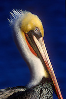 Endangered California Brown Pelican, breeding colors, head shot, portrait, La Jolla Cove, La Jolla, California