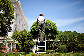 Washington, DC - June 1, 2009 - A National Park Service employee tends to a tree on a ladder in the Jacqueline Kennedy Garden outside the East Wing of the White House, June 1, 2009..Mandatory Credit: Chuck Kennedy - White House via CNP