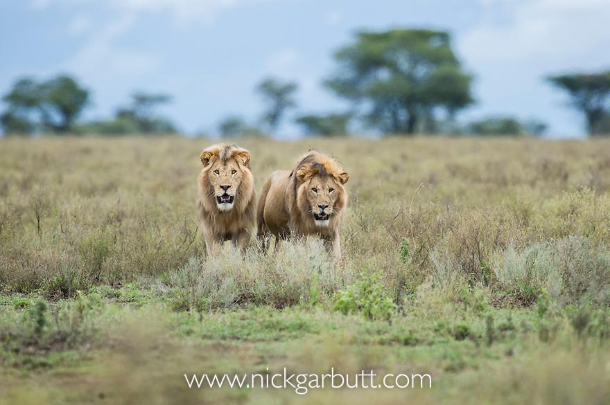 Male African Lions (Panthera leo) - brother coalition at Big Marsh, near Ndutu, Nogorongoro Conservation Area / Serengeti National Park, Tanzania. March 2015