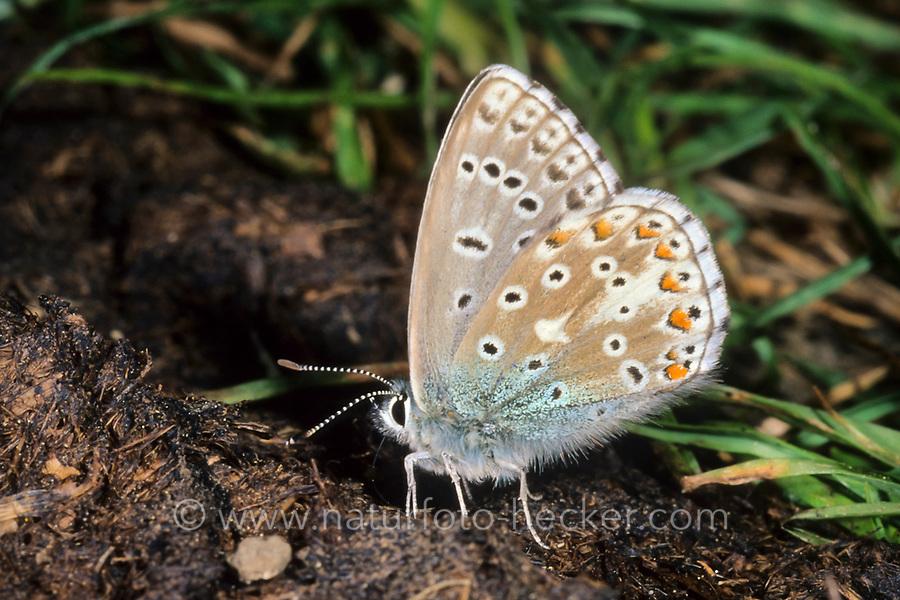 Himmelblauer Bläuling, Polyommatus bellargus, Meleageria bellargus, Lysandra bellargus, Adonis blue, Le Bel argus, Azuré bleu céleste, Argus bleu céleste, Bläulinge, Lycaenidae