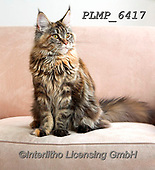 Marek, ANIMALS, REALISTISCHE TIERE, ANIMALES REALISTICOS, cats, photos+++++,PLMP6417,#a#, EVERYDAY