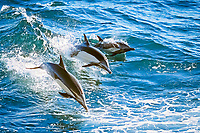 long-beaked common dolphins, Delphinus capensis, Baja California, Mexico, Pacific Ocean