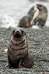 Antarctic fur seal (Arctocephalus gazella), facial view whilst a pair play in the background, Prion Island, South Georgia