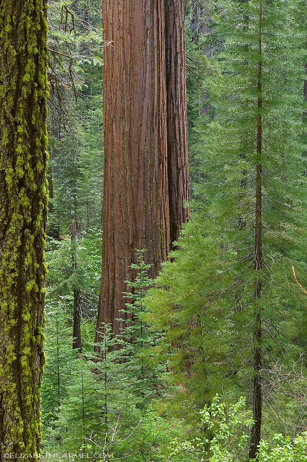 Tall Trees, Yosemite