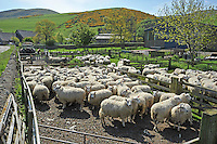 Texel x Mule  ewes in for dagging and checking feet at West Kirknewton, Wooler, Northumberland. ..Copyright..John Eveson, Dinkling Green Farm, Whitewell, Clitheroe, Lancashire. BB7 3BN.01995 61280. 07973 482705.j.r.eveson@btinternet.com.www.johneveson.com