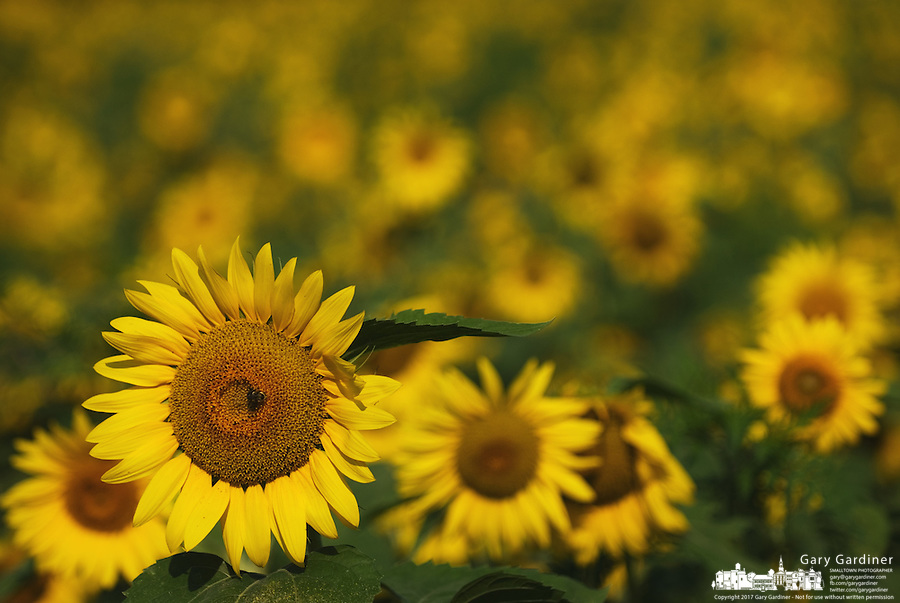 A sunflower in a farm field near Lewis Center, Ohio.<br />