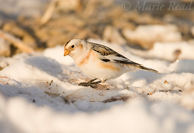 Snow Bunting (Plectrophenax nivalis) in nonbreeding plumage, foraging in cornfield in winter, Ithaca, New York, USA