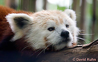 0505-0901  Red Panda, Ailurus fulgens  © David Kuhn/Dwight Kuhn Photography