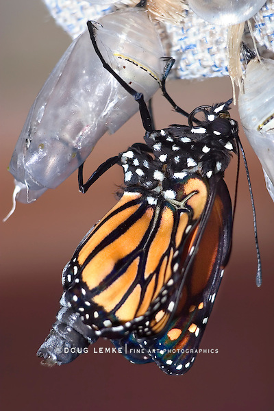 Butterfly Chrysalis, Monarch, Danaus plexippus, Emergent Sequence Image Number 6 of 6