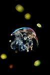 Water Flea, Cladocera, microscopic, microscope, crustacean, freshwater, pond, Dark Filled Illumination