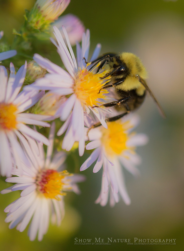 Bumble Bee on Fleabane wildflower