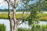 Betula papyrifera Birch tree at Turnagain Pass in Chugash National Forest on Kenai Peninsula, Alaska