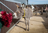 BNPS.co.uk (01202) 558833. <br /> Pic: CorinMesser/BNPS<br /> <br /> Tinsel test... <br /> <br /> A donkey sanctuary is running its own 'finishing school' to help the animals adjust to the outside world once they are re-homed.<br /> <br /> The 12 week program, initiated by The Donkey Sanctuary in Sidmouth, Devon, is believed to be the first of its kind in Britain.<br /> <br /> Activities include walking under bunting, navigating traffic cones and getting used to people carrying umbrellas.<br /> <br /> There are also tutorials on feeding, grooming and handling for the donkeys' prospective guardians.<br /> <br /> The initiative started in November 2019, with a current intake of 31 donkeys. Eight donkeys having already gone to homes.