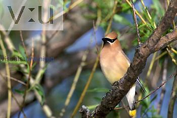 Cedar Waxwing ,Bombycilla cedorum,, North America.