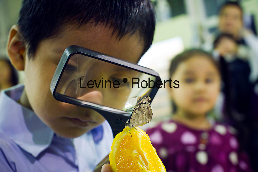 "Children from the Goddard Riverside Head Start Program observe a Blue Wave butterfly (myscelia sp.) from Costa Rica in ""The Butterfly Conservatory:  Tropical Butterflies Alive in Winter"" at the American Museum of Natural History in New York on Thursday, October 6, 2011.  500 butterflies hover above the visitors in the 1200 square foot  vivarium where children and adults can observe and play amongst the flying beauties.  (© Frances M. Roberts)"