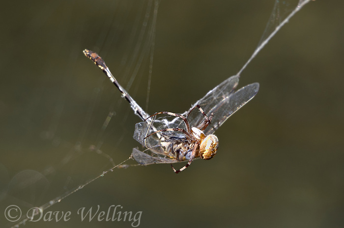 389030004 a wild male gray sanddragon progomphus borealis is trapped in an orb weaver possibly neoscona web  near a small hot springs in inyo county california