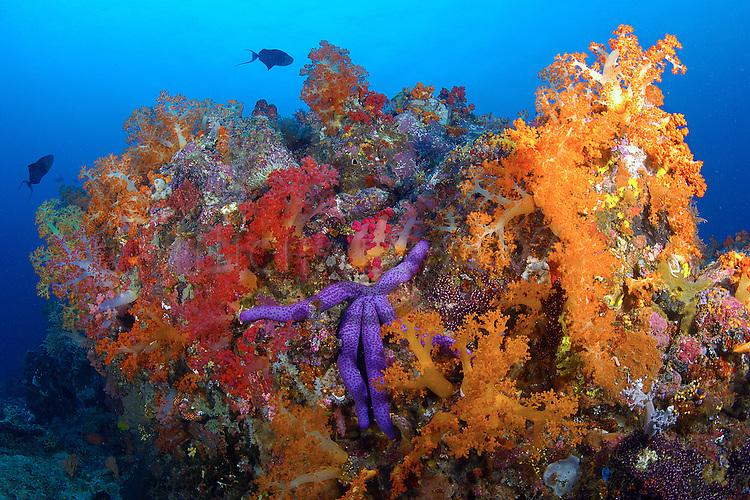Soft corals outcrop, sea star - Linkia sp. Bangka Island, North Sulawesi